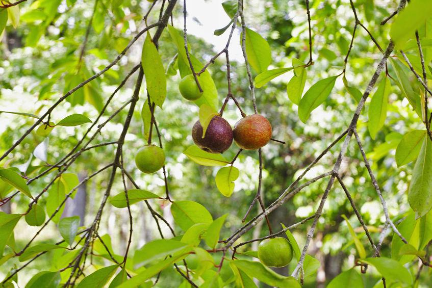 Lokaal kokumfruit op een boom Garcinia indica, Goa, India.