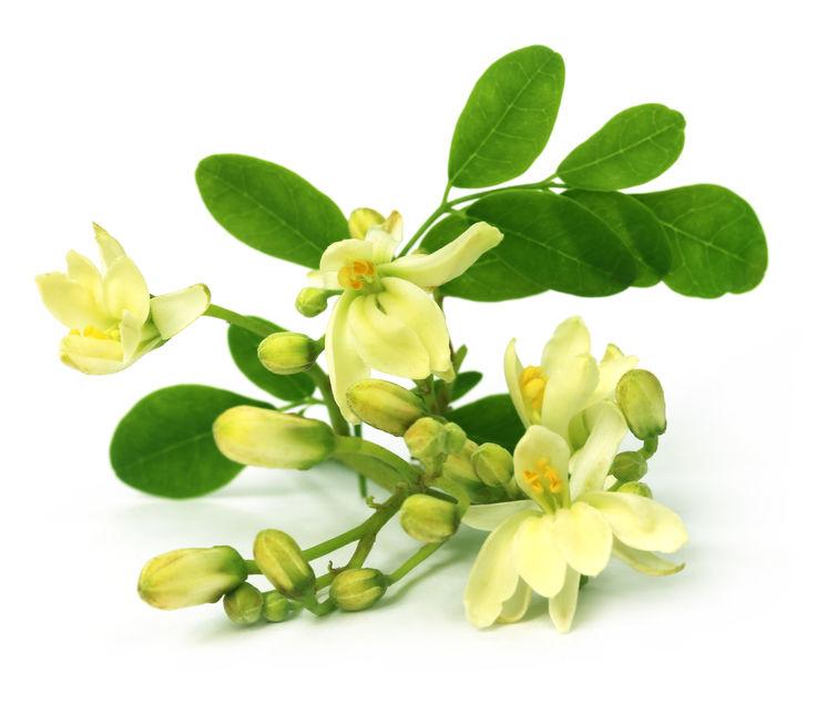 Eetbare moringa-bloem