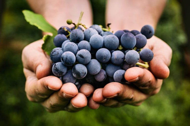 houder van een druiven